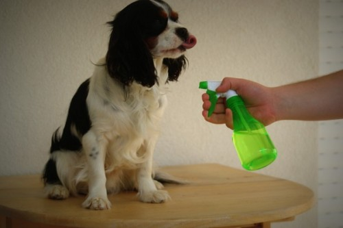Atelier DIY : Produit anti-puces maison pour chien
