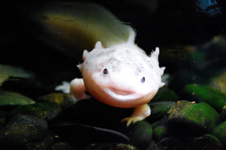 L'axolotl : un animal étonnant !