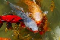 Quels poissons choisir pour un bassin d'extérieur ?