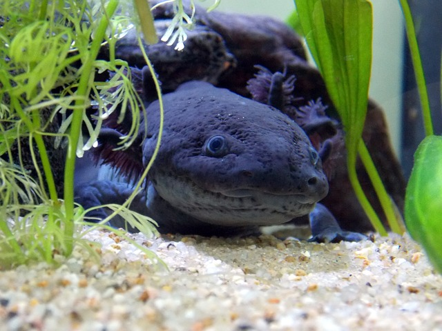 Comment aménager l'aquarium de mon axolotl ?