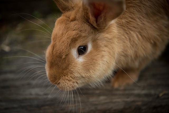 Faut-il faire vacciner son lapin ?