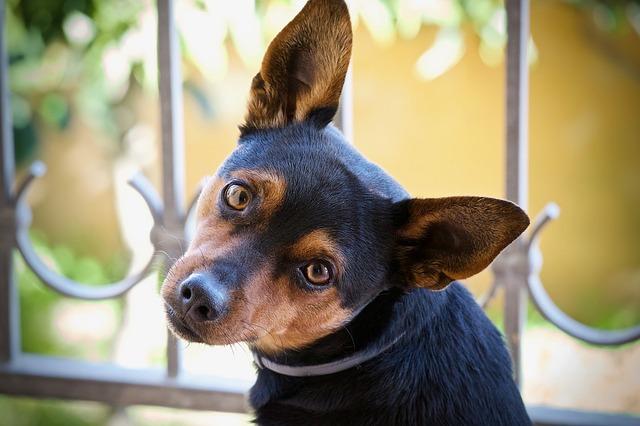 Pourquoi mon chien se gratte les oreilles ?