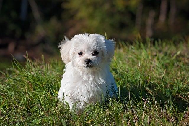 Comment entretenir le pelage blanc de mon chien ?