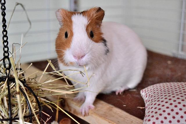 5 accessoires indispensables dans la cage de mon cochon d'Inde