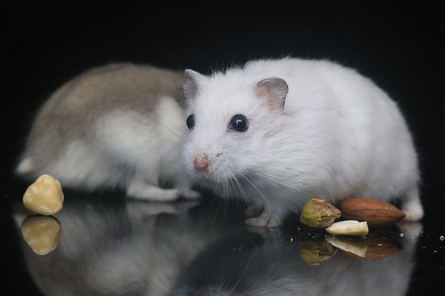 Peut-on faire cohabiter plusieurs hamsters ?