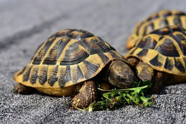 Quelle alimentation pour ma tortue de terre ?