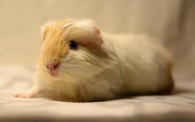 La trousse à pharmacie de mon cochon d'Inde