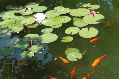 Comment s'occuper de ses poissons de bassin en hiver ?