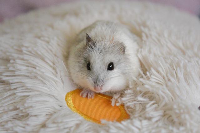 Pourquoi mon hamster crie ?