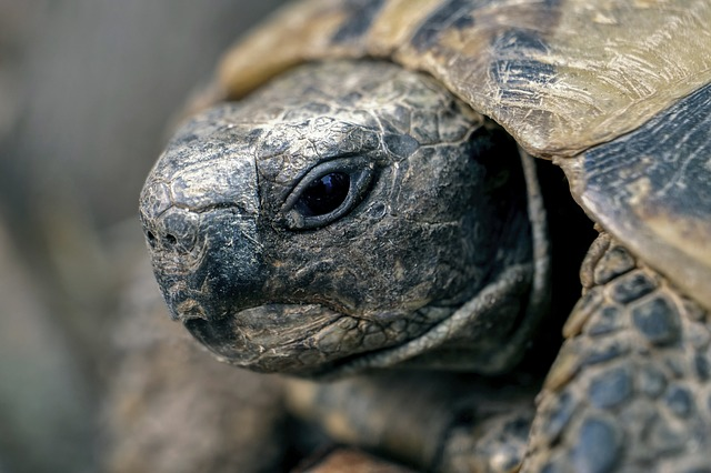 Quand et comment hiberne la tortue de terre ?