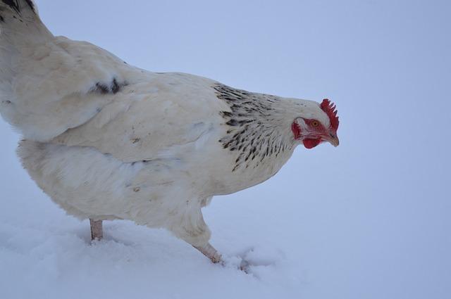 Comment protéger mes poules en hiver ?