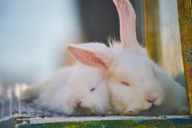 Qu'est ce que la grossesse nerveuse chez la lapine ?