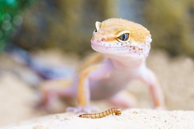 Quelle alimentation pour mon Gecko Léopard ?