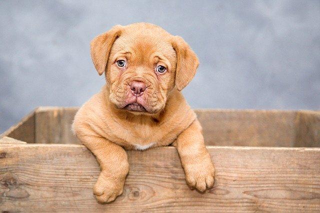Les dents de lait du chien : quand tombent-elles et comment le soulager ?