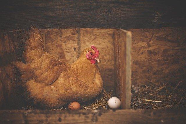 Pourquoi mes poules ne pondent plus ?
