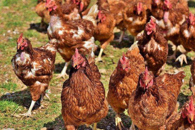 Bien-être animal : L'étiquetage pour indiquer son niveau sur les poulets se généralise
