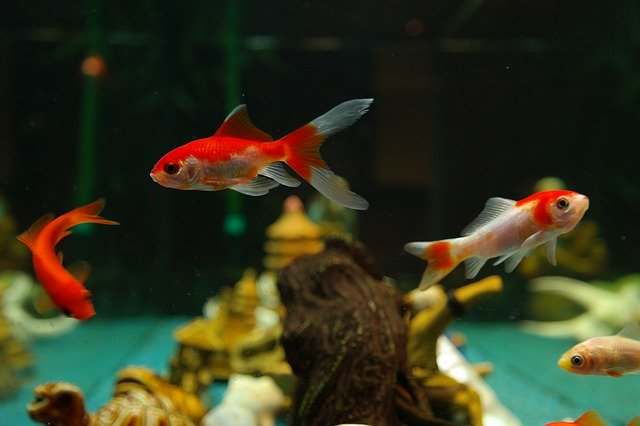 Les maladies courantes chez les poissons d'aquarium