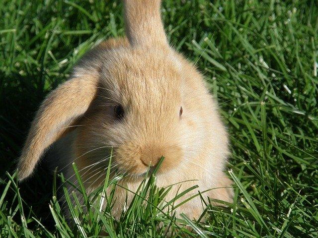 Pourquoi mon lapin a une oreille qui tombe ?