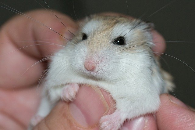 Pourquoi mon hamster me mord ?