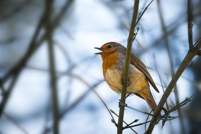 Pourquoi les oiseaux des jardins chantent-ils ?