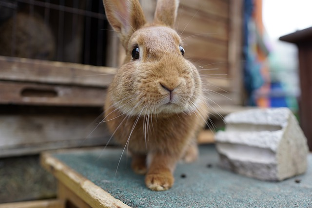 La myxomatose chez le lapin
