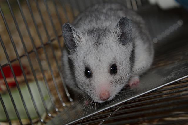 Hamster russe : tout savoir sur lui !