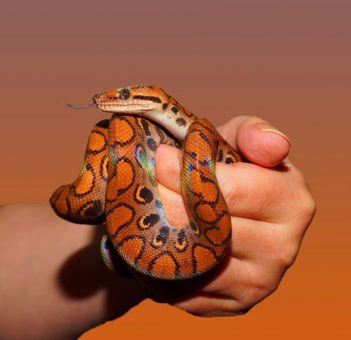 Serpent des blés : Tout Savoir sur lui !