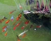 Reproduction de la carpe et des poissons de bassin