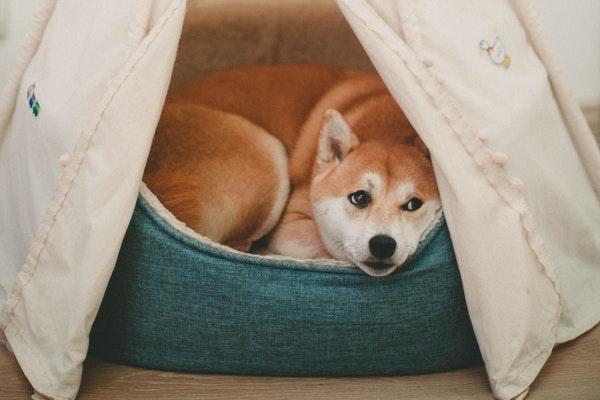 Choisir le meilleur panier à mémoire de forme pour son chien vieux ou malade