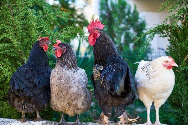 Comment vermifuger vos poules naturellement ?