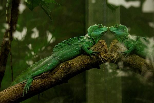 Iguane Vert : Tout savoir sur lui !