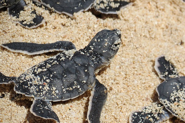 Comment se passe la reproduction chez les tortues ?