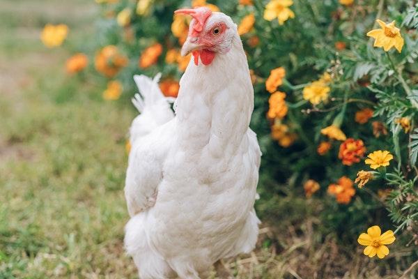 DIY : 7 Friandises pour mes Poules