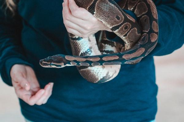 Python Royal : Tout Savoir sur lui !