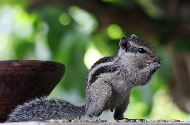 Écureuil de Corée : Tout Savoir sur lui !
