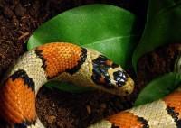 La reproduction des serpents