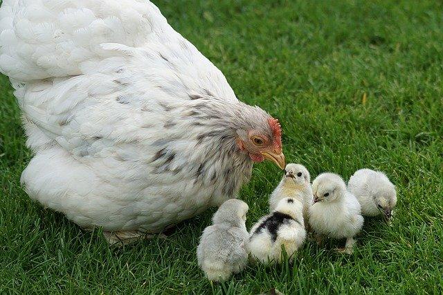 Comment savoir l'âge d'une poule ? 8 astuces d'experts