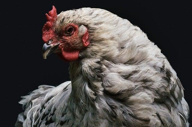 DIY : 6 Recettes pour faire repousser les plumes des poules