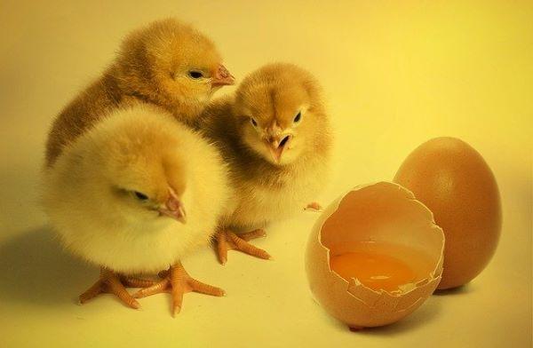 ACTU : Sexage in ovo, la fin de l'élimination des poussins mâles