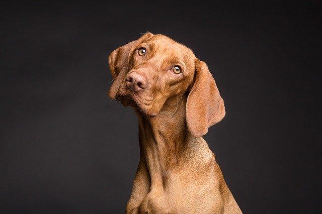 Furonculose chez le chien : causes, symptômes et traitement contre l'acné canine