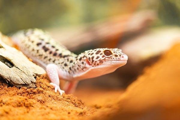 Gecko Léopard : Tout Savoir sur lui !