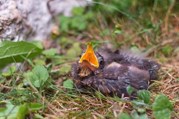 Oisillon tombé du nid : 7 bons réflexes pour le sauver !