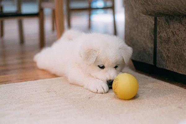 DIY Jeux pour Chiot : 9 façons de jouer avec son jeune chien