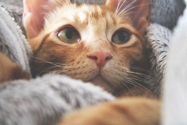 Otite chez le chat : comment la soigner ?