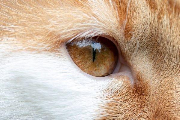 Glaucome chez le chat : causes, symptômes et traitement