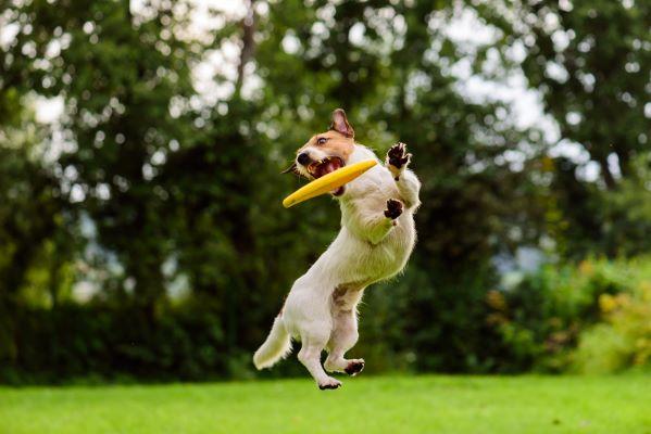 Discdog : comment apprendre le frisbee à mon chien ?