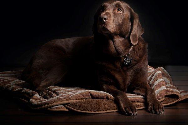 Retournement d'estomac chez le chien : causes, symptômes et traitement
