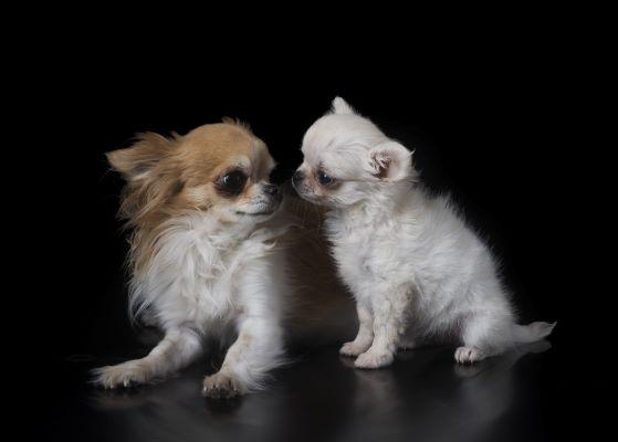 Hydrocéphalie chez le chien : causes, symptômes et traitement