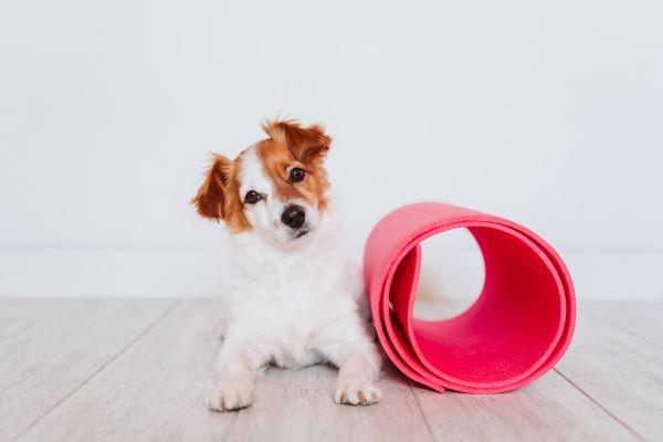 Guide de la Proprioception Canine : de la Gym pour votre Chien
