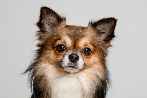 Le Chihuahua : Tout savoir sur lui!